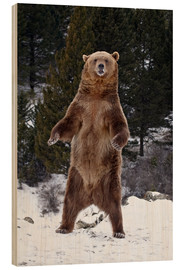 Cuadro de madera  Grizzly Bear standing in the snow - James Hager