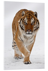 Cuadro de metacrilato  Siberian Tiger in the snow - James Hager