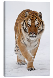 Lienzo  Siberian Tiger in the snow - James Hager