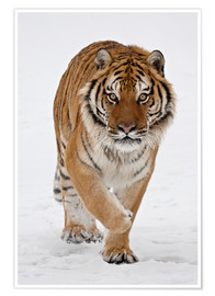 Póster  Siberian Tiger in the snow - James Hager