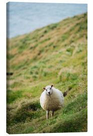 Lienzo  Thick sheep, Heimaey Island - Christian Kober