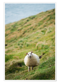 Póster Thick sheep, Heimaey Island