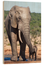 Cuadro de madera  African elephants (Loxodonta africana) adult and baby, Addo National Park, Eastern Cape, South Afric - Ann & Steve Toon