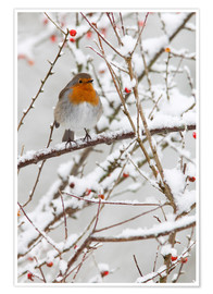 Póster  Robin, with berries in snow - Ann & Steve Toon