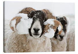 Lienzo  Northumberland blackface sheep in snow, Tarset, Hexham, Northumberland, UK - Ann & Steve Toon