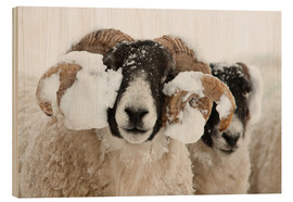 Cuadro de madera  Northumberland blackface sheep in snow, Tarset, Hexham, Northumberland, UK - Ann & Steve Toon