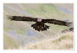 Póster  Golden eagle, Aquila chrysaetos, flying over moorland, captive, UK - Ann & Steve Toon