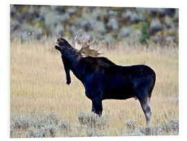 Cuadro de PVC  Moose calling, Wasatch Mountain State Park - James Hager