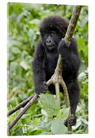 Cuadro de metacrilato  Infant mountain gorilla (Gorilla gorilla beringei) from the Kwitonda group climbing a vine, Volcanoe - James Hager