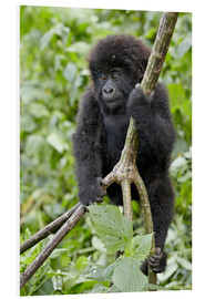 Cuadro de PVC  Infant mountain gorilla (Gorilla gorilla beringei) from the Kwitonda group climbing a vine, Volcanoe - James Hager
