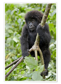 Póster  Infant mountain gorilla (Gorilla gorilla beringei) from the Kwitonda group climbing a vine, Volcanoe - James Hager