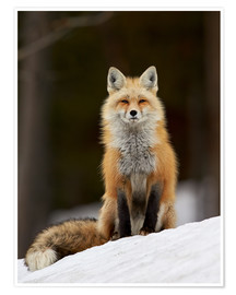 Póster  Red Fox (Vulpes vulpes) (Vulpes fulva) in the snow, Grand Teton National Park, Wyoming, United State - James Hager