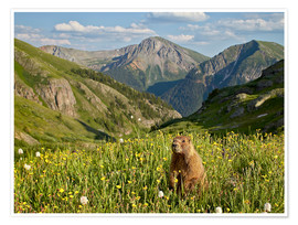 Póster Yellow-bellied marmot