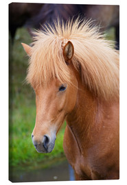 Lienzo  Light brown Icelandic horse - Patrick Dieudonne