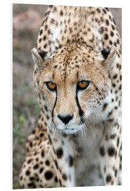 Cuadro de PVC  Cheetah approaching prey, Western Cape, South Africa, Africa - Fiona Ayerst