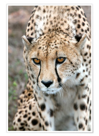 Póster  Cheetah approaching prey, Western Cape, South Africa, Africa - Fiona Ayerst