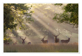 Póster  Deer in morning mist - Stuart Black