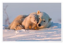 Póster  Polar bear and cub, Wapusk National Park - David Jenkins