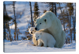 Lienzo  Polar bear (Ursus maritimus) with cubs, Canada - David Jenkins