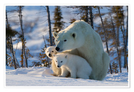 Póster Polar bear (Ursus maritimus) with cubs, Canada