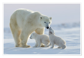 Póster  Polar bear family, Wapusk National Park - David Jenkins