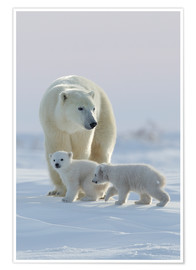Póster  Polar bear (Ursus maritimus) and cubs, Wapusk National Park, Churchill, Hudson Bay, Manitoba, Canada - David Jenkins