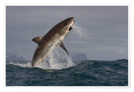 Póster  Great white shark (Carcharodon carcharias), Seal Island, False Bay, Simonstown, Western Cape, South - David Jenkins