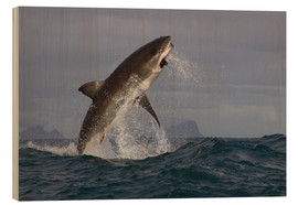 Cuadro de madera  Great white shark (Carcharodon carcharias), Seal Island, False Bay, Simonstown, Western Cape, South - David Jenkins
