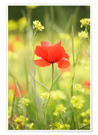 Póster Single poppy in a field