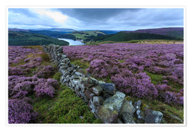 Póster  Heather covered Bamford Moor and dry stone wall - Eleanor Scriven