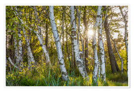 Póster Sunny birch forest