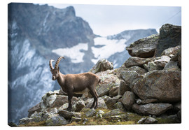 Lienzo  Alpine ibex above Saas Fee, Switzerland. - Peter Wey