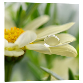 Cuadro de metacrilato  Daisy with drops - Atteloi