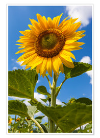 Póster sunflower