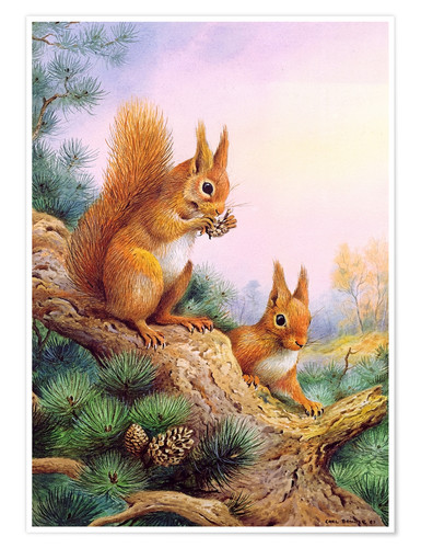 Póster Pair of Red Squirrels on a Scottish Pine