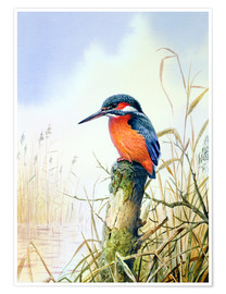 Póster  Kingfisher - Carl Donner