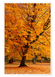 Póster Autumn tree in the park