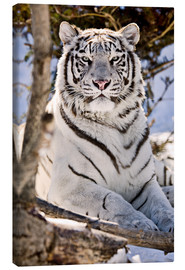 Lienzo  White King Tiger - Chad Coombs