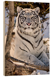 Chad Coombs - White King Tiger