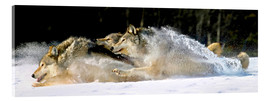 Metacrilato  A pack of grey wolves in deep snow - John Hyde