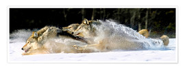Póster  A pack of grey wolves in deep snow - John Hyde
