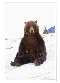 Póster Grizzly sitting in the snow