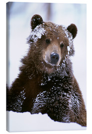 Lienzo  Grizzly in the snow - Doug Lindstrand