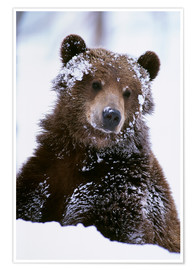 Póster Grizzly in the snow