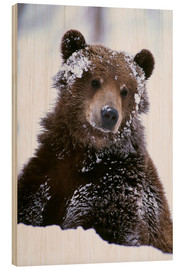 Cuadro de madera  Grizzly in the snow - Doug Lindstrand