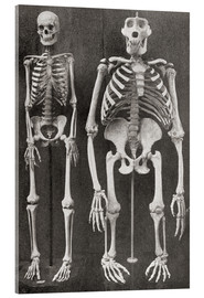 Cuadro de metacrilato  Skeletons Of Man and Gorilla - Ken Welsh