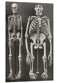 Cuadro de PVC  Skeletons Of Man and Gorilla - Ken Welsh