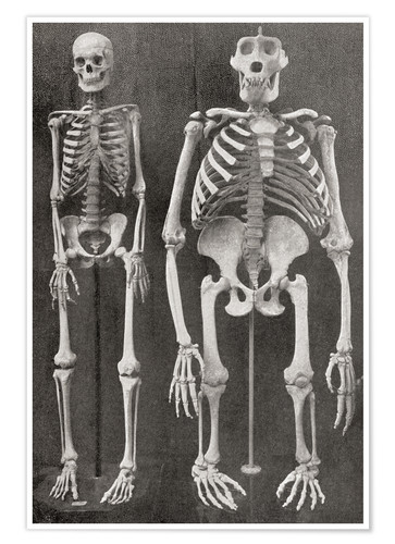 Póster Skeletons Of Man and Gorilla