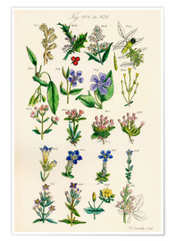 Póster  Wildflowers - Sowerby Collection