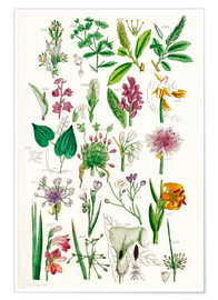 Póster  Wild Flowers - Sowerby Collection